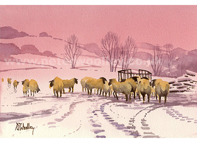 Winter Feed - Sheep in the Snow